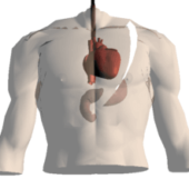 Ability to toggle transparency of torso and rib cage